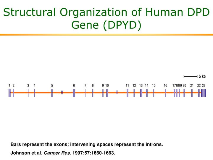 Structural Organization of Human DPD Gene (DPYD)