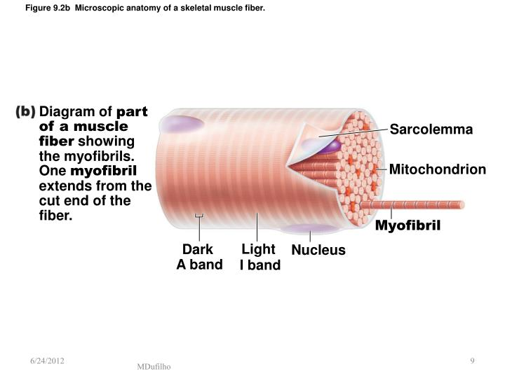 Ppt Muscles And Muscle Physiology Powerpoint Presentation Id2965123