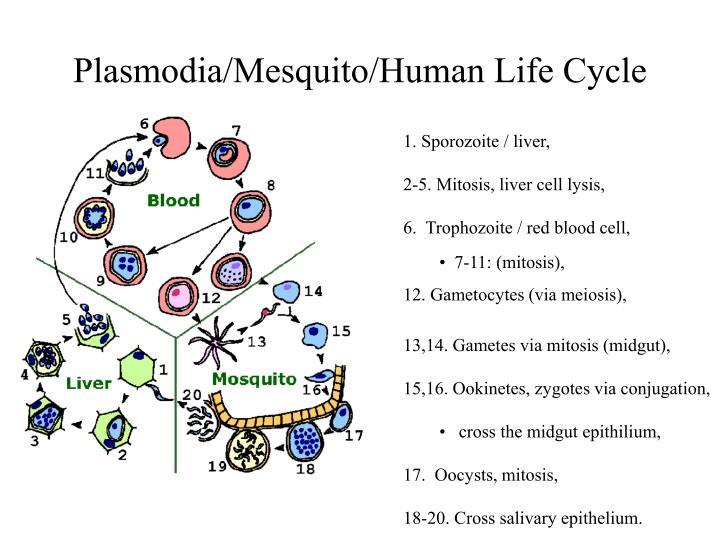 Plasmodia/Mesquito/Human Life Cycle