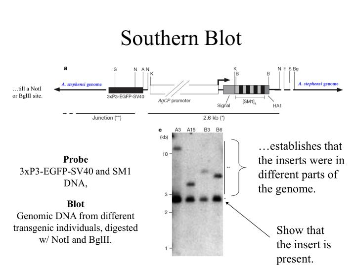 …establishes that the inserts were in different parts of the genome.