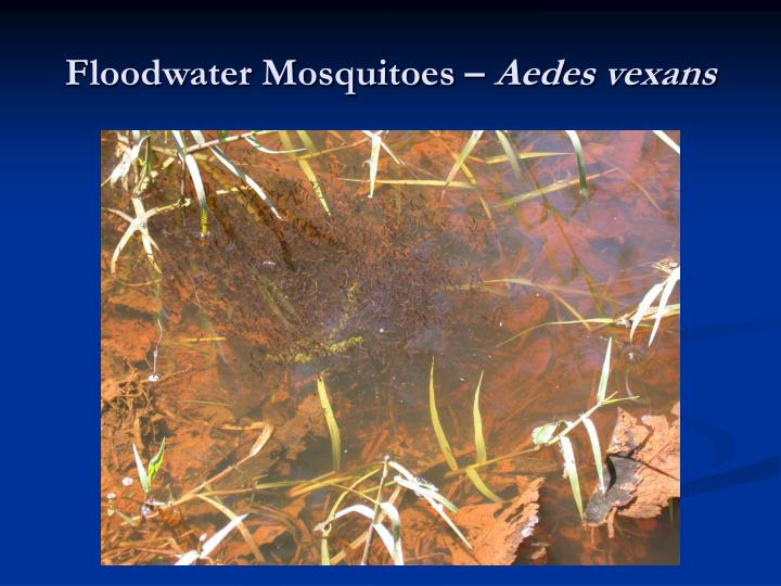 Floodwater Mosquitoes –