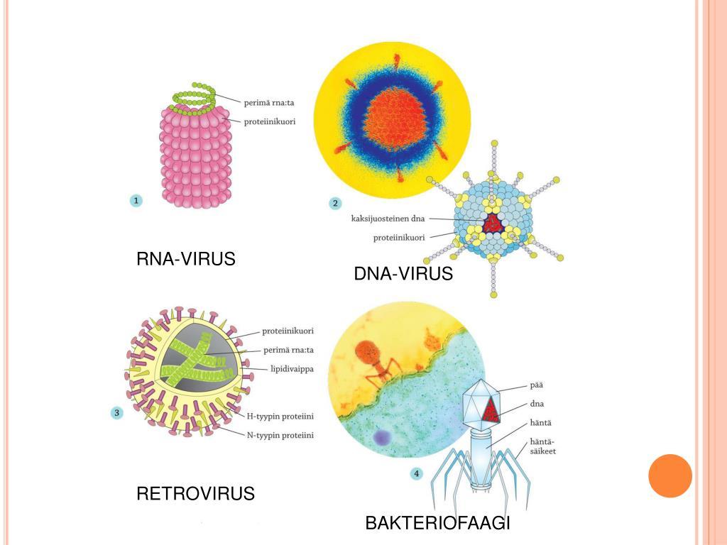 Viruksen Lisääntyminen