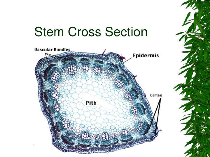 Stem Cross Section