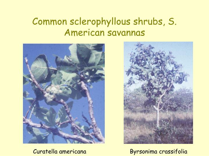 Common sclerophyllous shrubs, S. American savannas