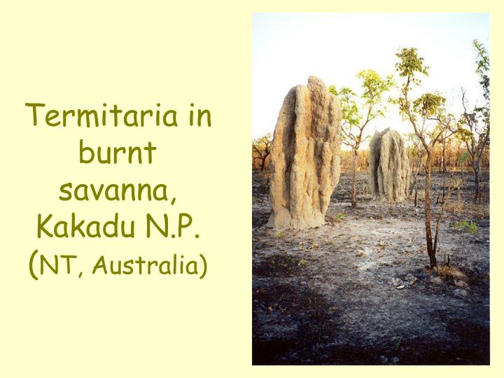 Termitaria in burnt savanna, Kakadu N.P. (