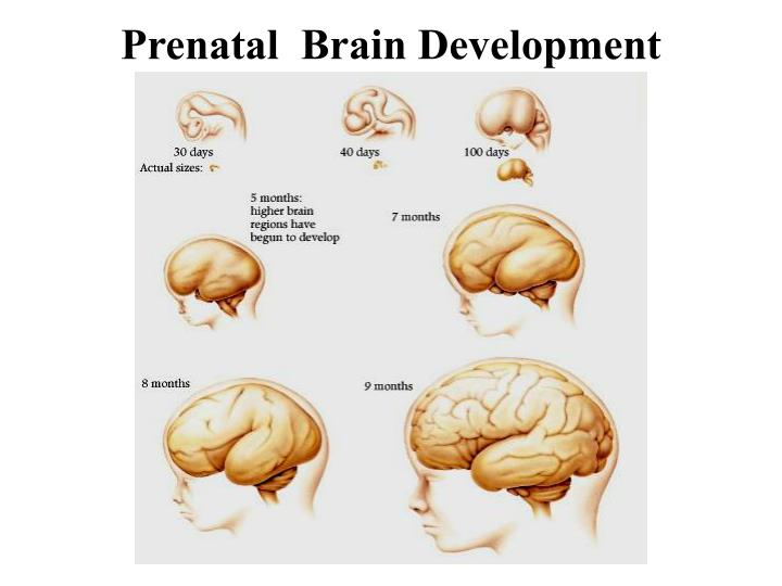 prenatal brain development prenatal lifecycle