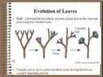 evolution of leaves1