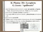 k plantae div lycophyta g isoetes quillworts4