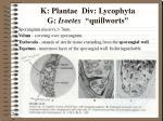 k plantae div lycophyta g isoetes quillworts7