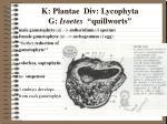 k plantae div lycophyta g isoetes quillworts9