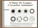 k plantae div lycophyta g lycopodium ground pines2