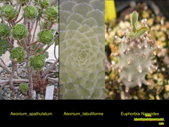 Aeonium_spathulatum