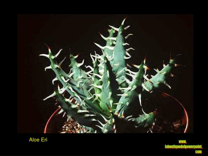 Aloe Eri