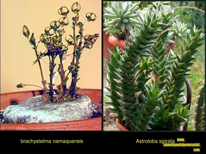 brachystelma namaquensis