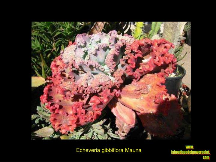 Echeveria gibbiflora Mauna