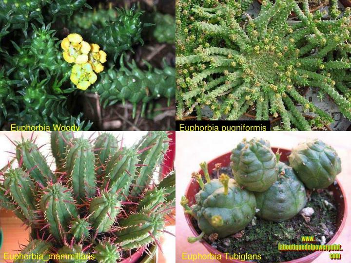 Euphorbia Woody