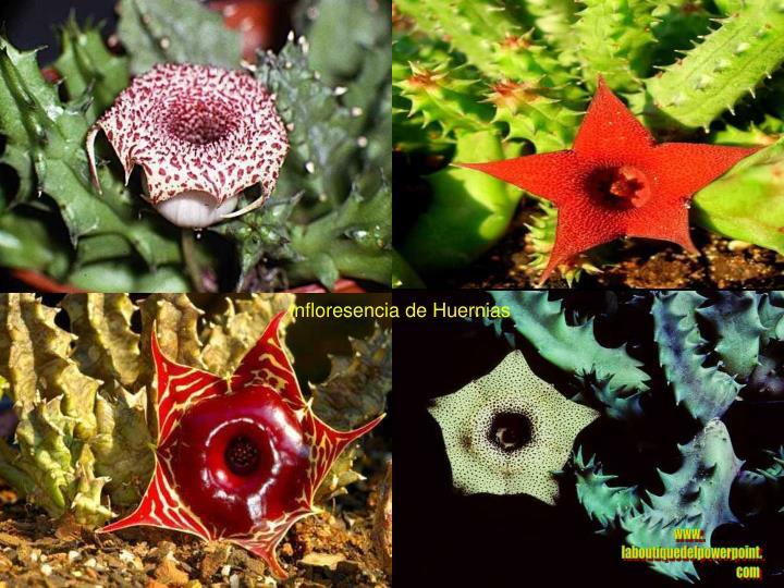 Infloresencia de Huernias