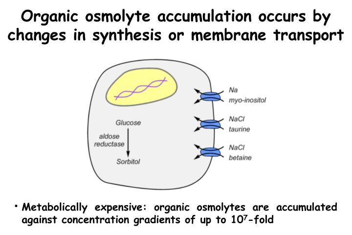 Organic osmolyte accumulation occurs by