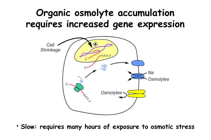Organic osmolyte accumulation