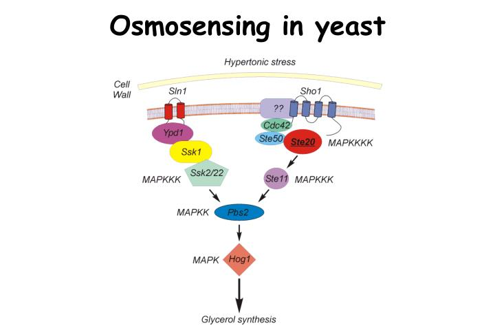 Osmosensing in yeast