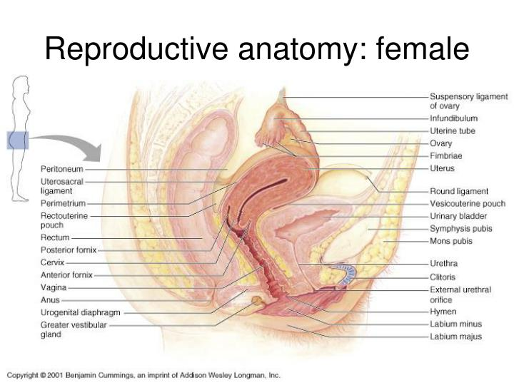 PPT - The Reproductive System Anatomy PowerPoint Presentation - ID ...
