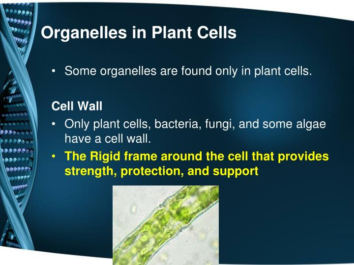 Organelles in Plant Cells