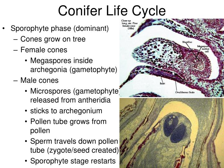Conifer Life Cycle