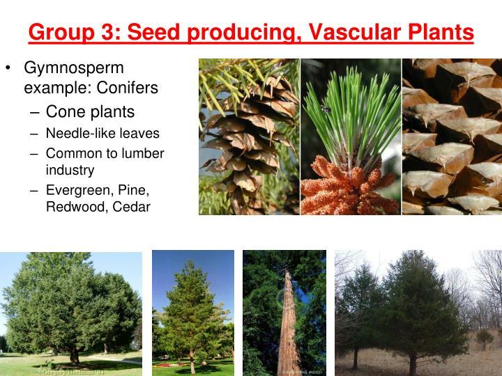 Gymnosperm example: Conifers