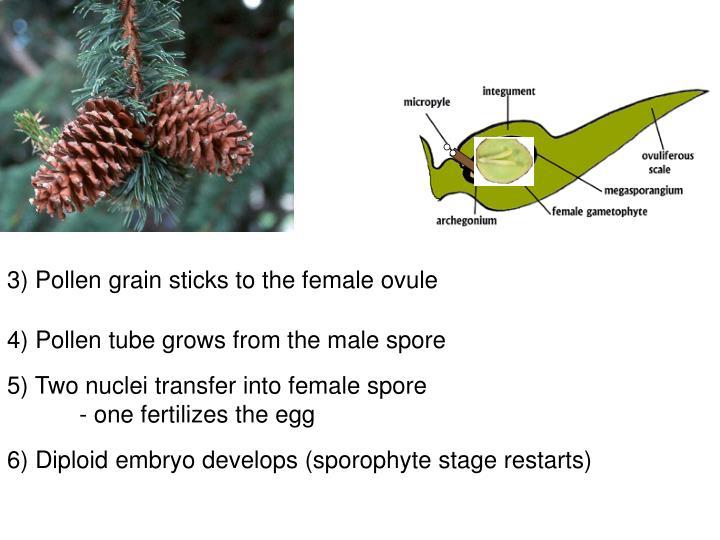 3) Pollen grain sticks to the female ovule