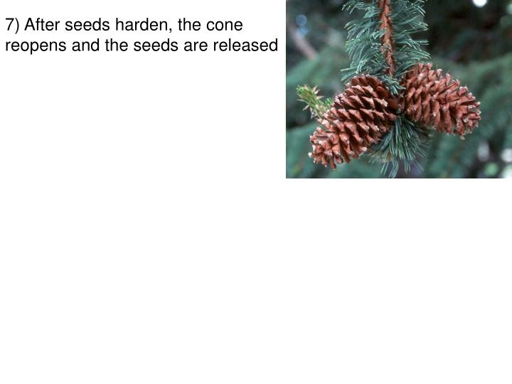 7) After seeds harden, the cone reopens and the seeds are released