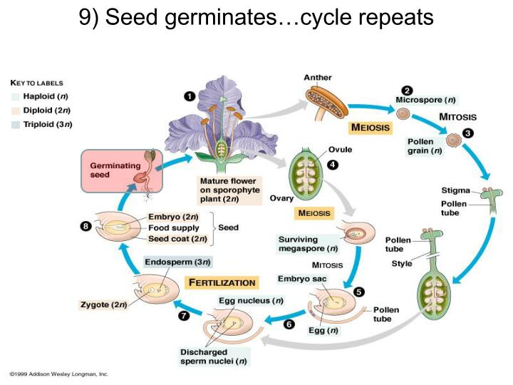 9) Seed germinates…cycle repeats