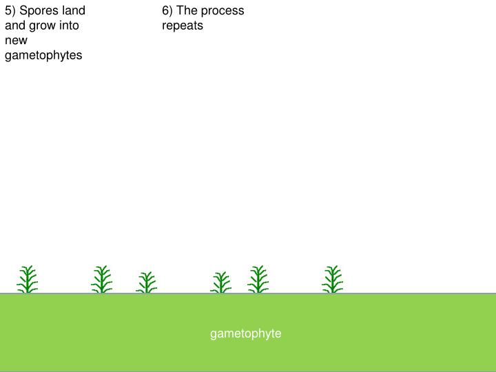 5) Spores land and grow into new gametophytes