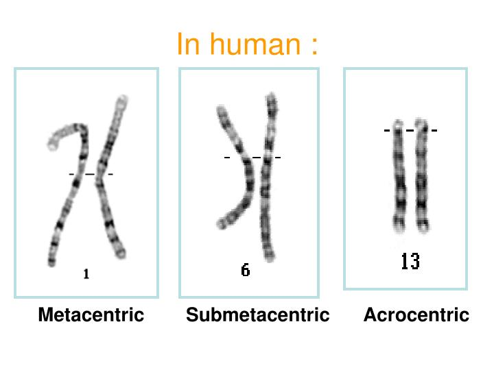 In human :