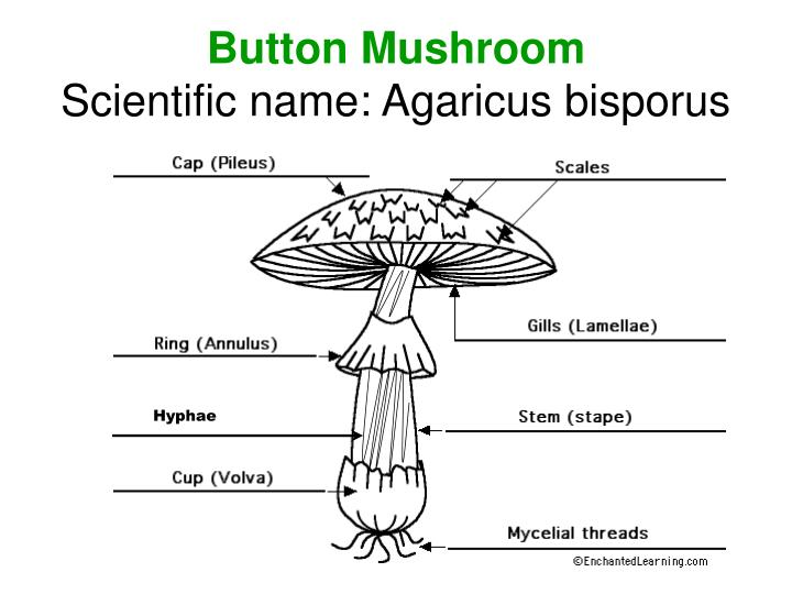 Ppt - Button Mushroom Scientific Name  Agaricus Bisporus Powerpoint Presentation