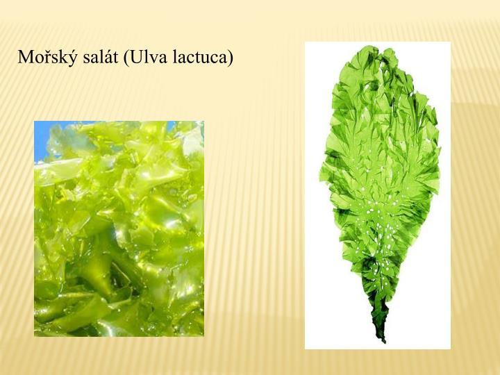 Mořský salát (Ulva lactuca)