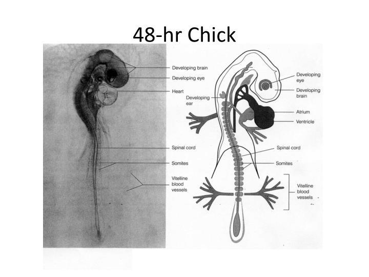 48-hr Chick