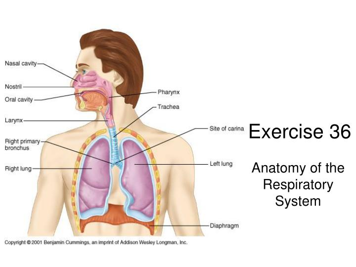 PPT - Exercise 36 PowerPoint Presentation - ID:2976685