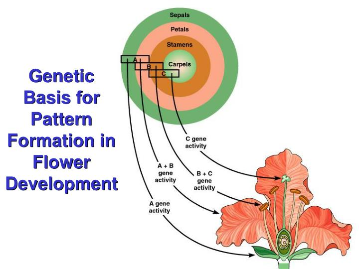 Genetic Basis for Pattern Formation in Flower Development