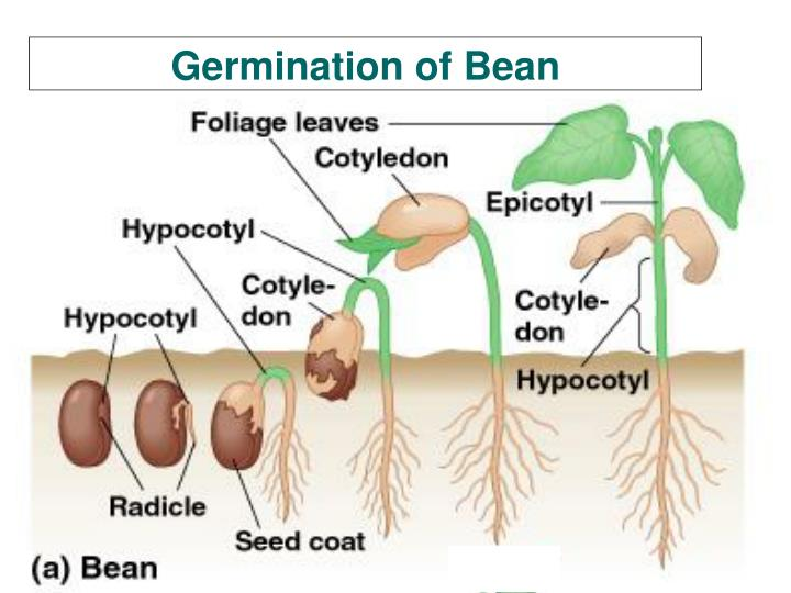 Germination of Bean