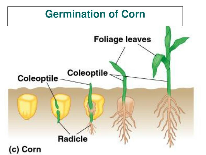 Germination of Corn
