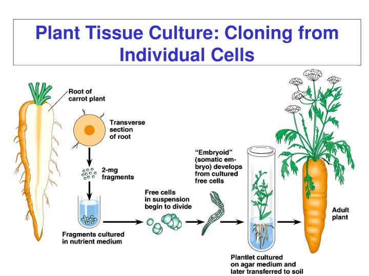 Plant Tissue Culture: Cloning from Individual Cells