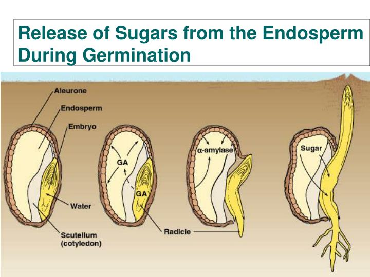 Release of Sugars from the Endosperm During Germination