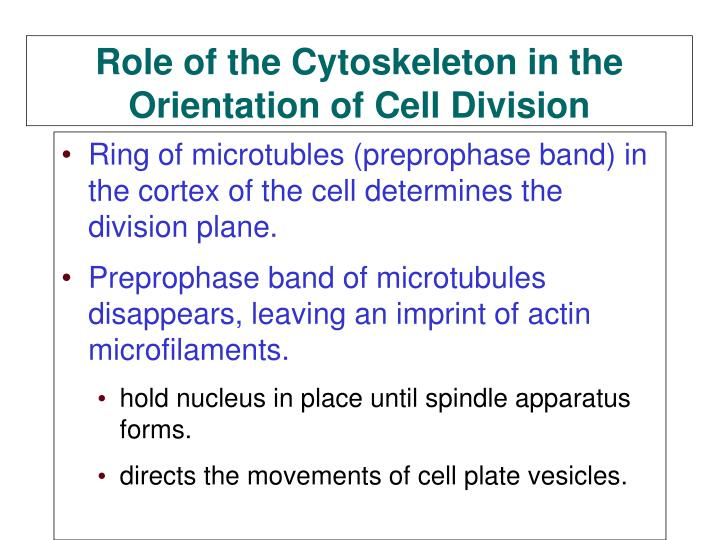 Ring of microtubles (preprophase band) in the cortex of the cell determines the division plane.