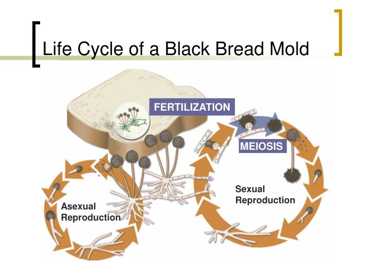 Bread mold asexual reproduction