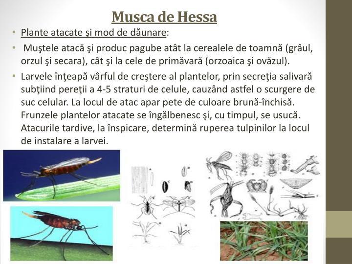 Musca de Hessa