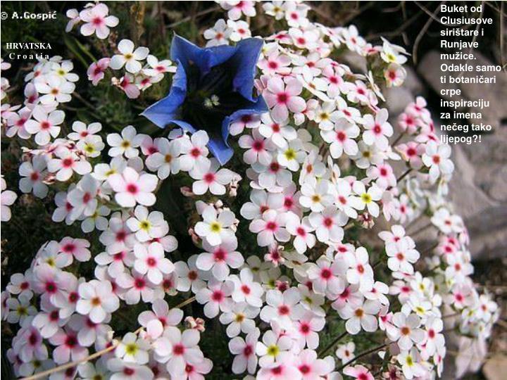 Buket od Clusiusove sirištare i Runjave mužice. Odakle samo ti botaničari crpe inspiraciju za imena nečeg tako lijepog?!
