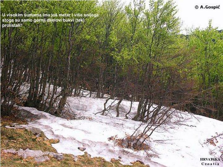 U visokim šumama ima još metar i više snijega stoga su samo gornji dijelovi bukvi (tek) prolistali!