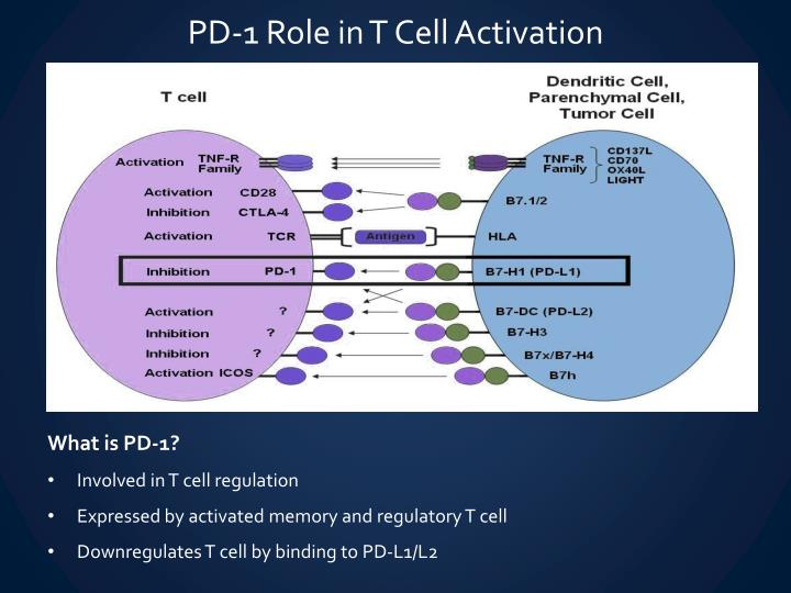 PD-1 Role in T Cell Activation