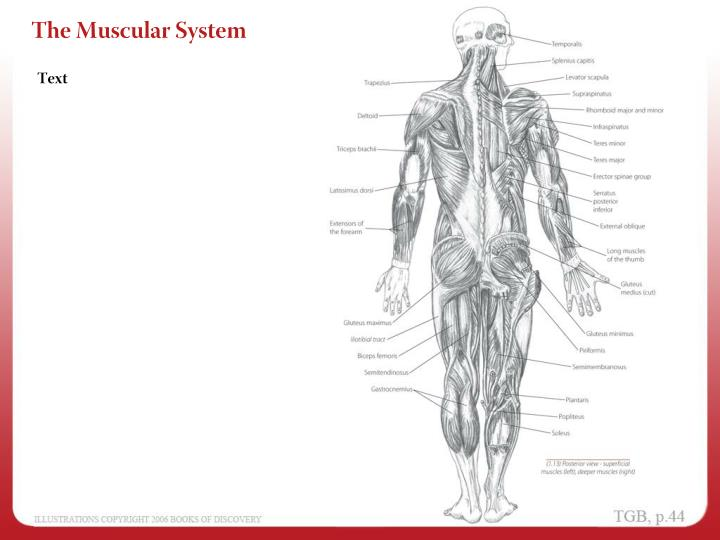 PPT - Anatomical Position PowerPoint Presentation - ID:2986951