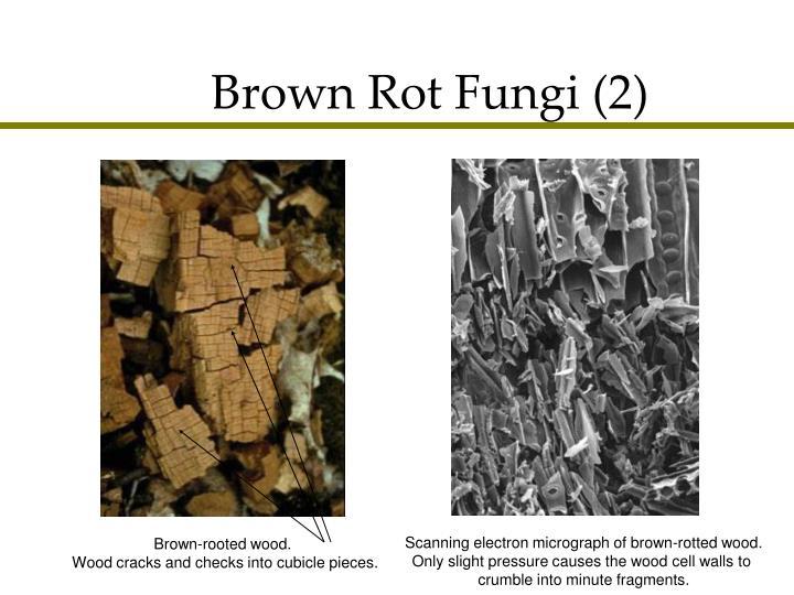 Brown Rot Fungi (2)